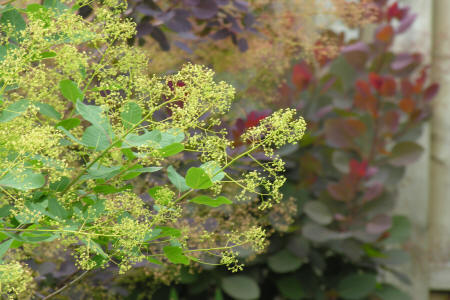 North American Smoke tree flower panicles in front of Royal Purple smokebush and Cotinus Grace smokebush