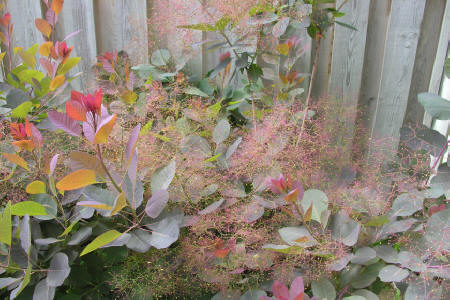 Cotinus Grace Smoke bush flower panicles beginning to look like smoke