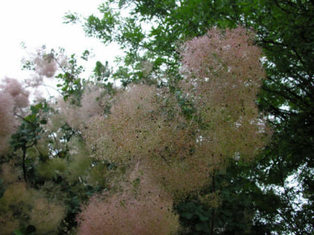 Wet panicles of a smoke tree after a light rain