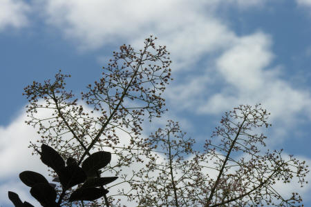 Smoke tree panicles in the sky