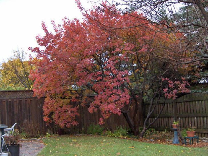 Brilliant colored Fall leaves of North American Smoke tree